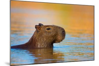 Capybara (Hydrochoerus Hydrochaeris) Swimming, Pantanal Wetlands, Brazil--Mounted Photographic Print