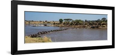 Wildebeests (Connochaetes Taurinus) Crossing a River, Serengeti National Park, Tanzania--Framed Photographic Print