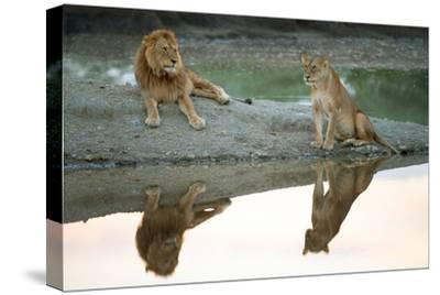 African Lion and Lioness (Panthera Leo), Ndutu, Ngorongoro Conservation Area, Tanzania--Stretched Canvas Print