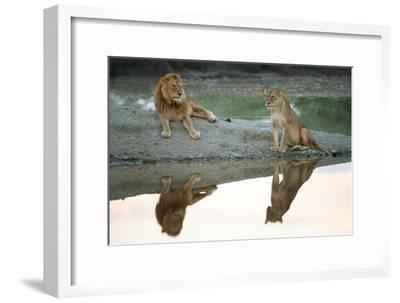 African Lion and Lioness (Panthera Leo), Ndutu, Ngorongoro Conservation Area, Tanzania--Framed Photographic Print