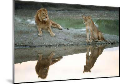 African Lion and Lioness (Panthera Leo), Ndutu, Ngorongoro Conservation Area, Tanzania--Mounted Photographic Print
