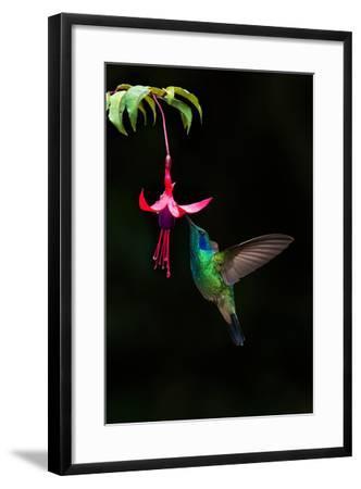 Green Violetear (Colibri Thalassinus) Feeding on a Flower, Savegre, Costa Rica--Framed Photographic Print