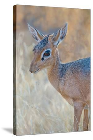 Damara Dik-Dik (Madoqua Kirkii), Etosha National Park, Namibia--Stretched Canvas Print