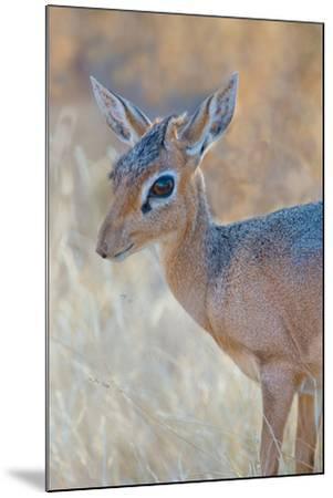 Damara Dik-Dik (Madoqua Kirkii), Etosha National Park, Namibia--Mounted Photographic Print