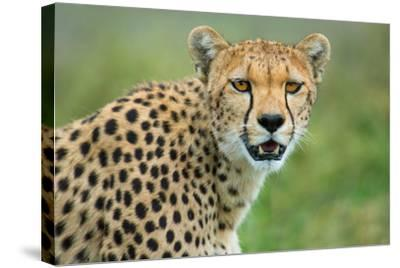 Cheetah (Acinonyx Jubatus), Ndutu, Ngorongoro Conservation Area, Tanzania--Stretched Canvas Print