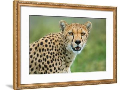 Cheetah (Acinonyx Jubatus), Ndutu, Ngorongoro Conservation Area, Tanzania--Framed Photographic Print