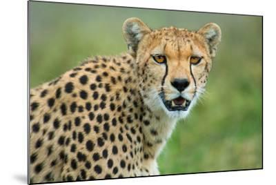 Cheetah (Acinonyx Jubatus), Ndutu, Ngorongoro Conservation Area, Tanzania--Mounted Photographic Print