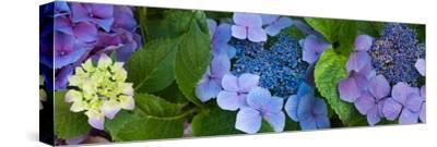 Close-Up of Hydrangea Flowers--Stretched Canvas Print