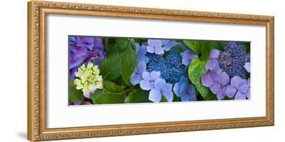 Close-Up of Hydrangea Flowers--Framed Photographic Print