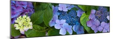 Close-Up of Hydrangea Flowers--Mounted Photographic Print