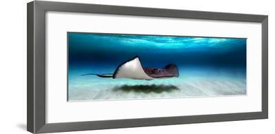 Southern Stingray (Dasyatis Americana), North Sound, Grand Cayman, Cayman Islands--Framed Photographic Print