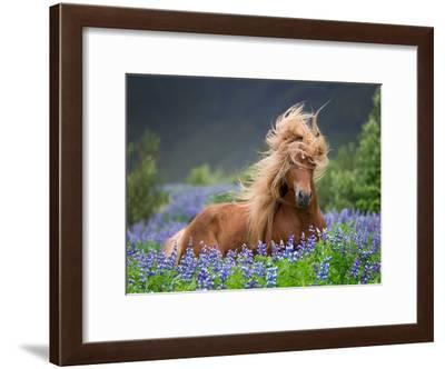 Horse Running by Lupines. Purebred Icelandic Horse in the Summertime with Blooming Lupines, Iceland--Framed Photographic Print