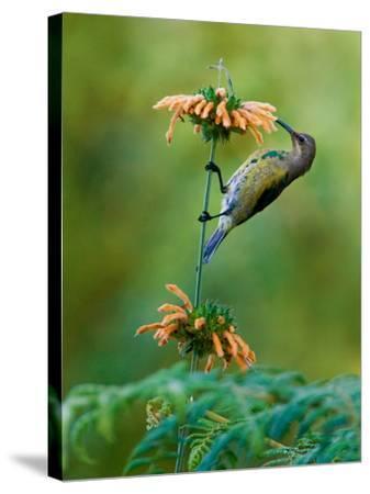 Malachite Sunbird (Nectarinia Famosa) Feeding on a Flower, Usambara Mountains, Tanzania--Stretched Canvas Print