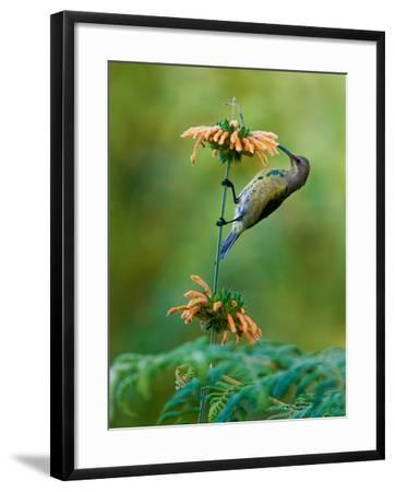 Malachite Sunbird (Nectarinia Famosa) Feeding on a Flower, Usambara Mountains, Tanzania--Framed Photographic Print