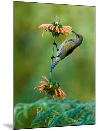 Malachite Sunbird (Nectarinia Famosa) Feeding on a Flower, Usambara Mountains, Tanzania--Mounted Photographic Print