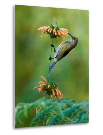 Malachite Sunbird (Nectarinia Famosa) Feeding on a Flower, Usambara Mountains, Tanzania--Metal Print