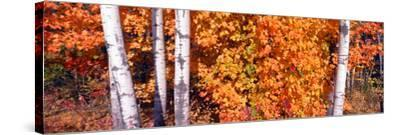 Maple and Birch Trees Near Baywood, Wisconsin--Stretched Canvas Print
