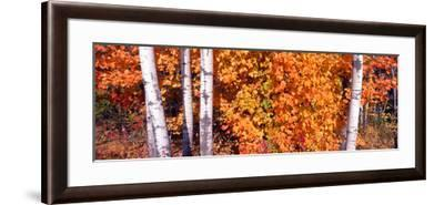 Maple and Birch Trees Near Baywood, Wisconsin--Framed Photographic Print