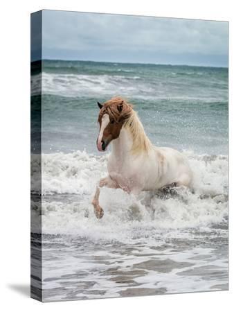Icelandic Horse in the Sea, Longufjorur Beach, Snaefellsnes Peninsula, Iceland--Stretched Canvas Print
