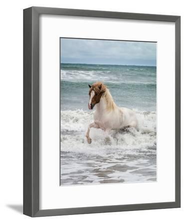 Icelandic Horse in the Sea, Longufjorur Beach, Snaefellsnes Peninsula, Iceland--Framed Photographic Print