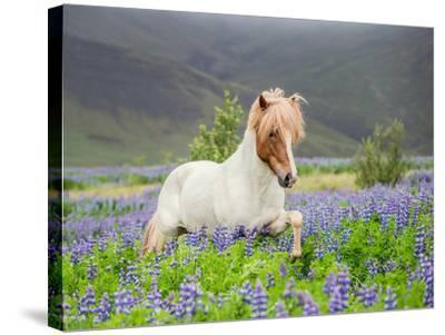 Icelandic Horse Running in Lupine Fields, Iceland--Stretched Canvas Print