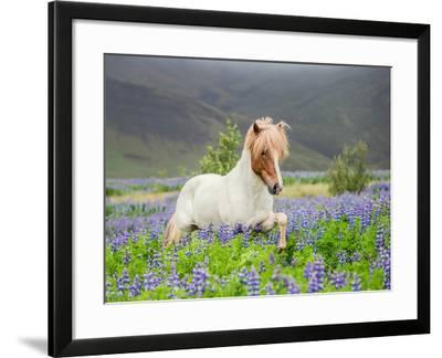 Icelandic Horse Running in Lupine Fields, Iceland--Framed Photographic Print