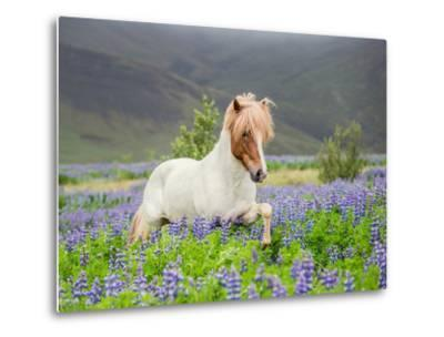 Icelandic Horse Running in Lupine Fields, Iceland--Metal Print
