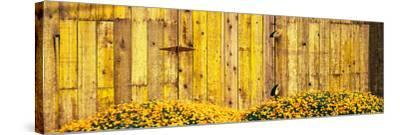 California Golden Poppies (Eschscholzia Californica) in Front of Weathered Wooden Barn--Stretched Canvas Print