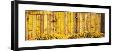California Golden Poppies (Eschscholzia Californica) in Front of Weathered Wooden Barn--Framed Photographic Print
