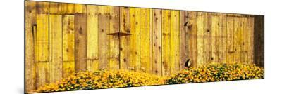 California Golden Poppies (Eschscholzia Californica) in Front of Weathered Wooden Barn--Mounted Photographic Print