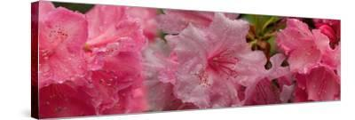 Close-Up of Wet Rhododendron Flowers--Stretched Canvas Print