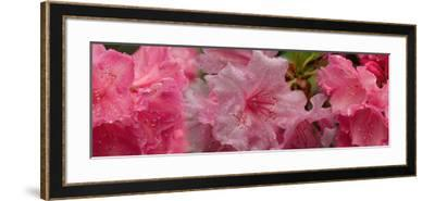 Close-Up of Wet Rhododendron Flowers--Framed Photographic Print