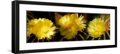 High Angle View of Cactus Flowers--Framed Photographic Print
