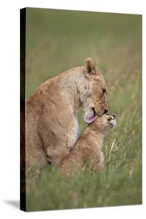 Lion (Panthera Leo) Female Grooming a Cub, Ngorongoro Crater, Tanzania, East Africa, Africa-James Hager-Stretched Canvas Print