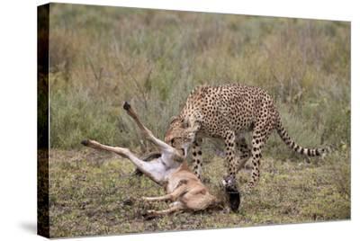 Male Cheetah (Acinonyx Jubatus) Killing a Newborn Blue Wildebeest (Brindled Gnu) Calf-James Hager-Stretched Canvas Print