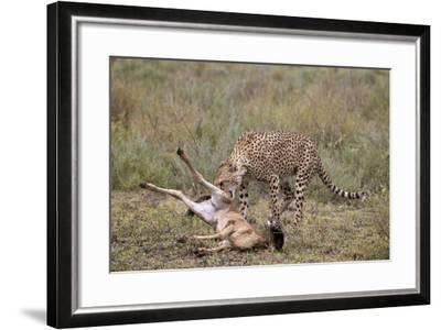 Male Cheetah (Acinonyx Jubatus) Killing a Newborn Blue Wildebeest (Brindled Gnu) Calf-James Hager-Framed Photographic Print