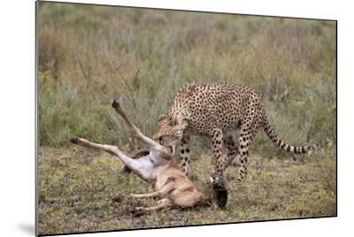 Male Cheetah (Acinonyx Jubatus) Killing a Newborn Blue Wildebeest (Brindled Gnu) Calf-James Hager-Mounted Photographic Print