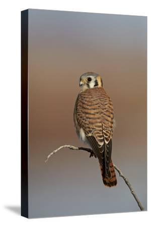 American Kestrel (Sparrow Hawk) (Falco Sparverius) Female-James Hager-Stretched Canvas Print