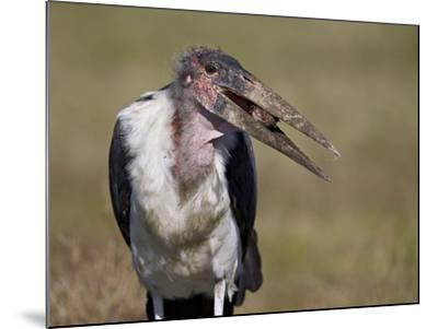 Marabou Stork (Leptoptilos Crumeniferus)-James Hager-Mounted Photographic Print