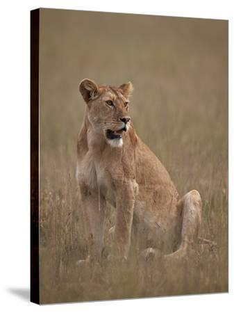 Lioness (Panthera Leo), Serengeti National Park, Tanzania, East Africa, Africa-James Hager-Stretched Canvas Print