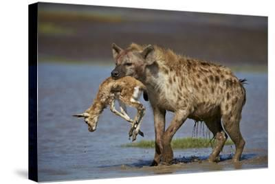 Spotted Hyena (Spotted Hyaena) (Crocuta Crocuta) with a Baby Thomson's Gazelle (Gazella Thomsonii)-James Hager-Stretched Canvas Print