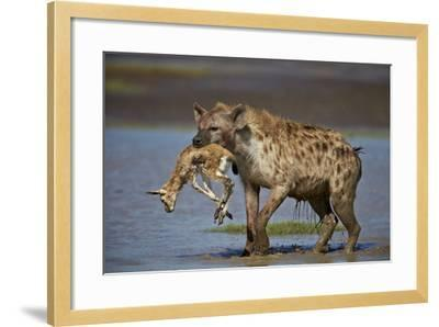 Spotted Hyena (Spotted Hyaena) (Crocuta Crocuta) with a Baby Thomson's Gazelle (Gazella Thomsonii)-James Hager-Framed Photographic Print