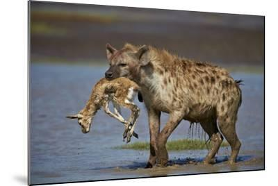 Spotted Hyena (Spotted Hyaena) (Crocuta Crocuta) with a Baby Thomson's Gazelle (Gazella Thomsonii)-James Hager-Mounted Photographic Print