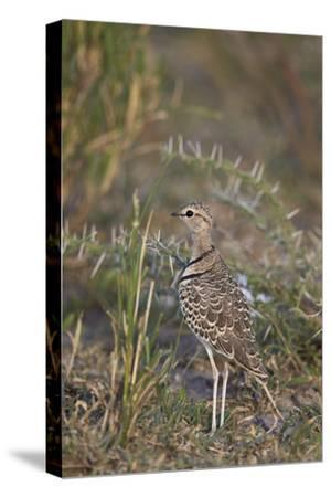 Two-Banded Courser (Double-Banded Courser) (Rhinoptilus Africanus)-James Hager-Stretched Canvas Print