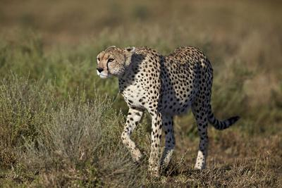 Cheetah (Acinonyx Jubatus), Ngorongoro Conservation Area, Serengeti, Tanzania, East Africa, Africa-James Hager-Framed Photographic Print