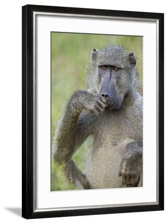 Chacma Baboon (Papio Ursinus) Eating, Kruger National Park, South Africa, Africa-James Hager-Framed Photographic Print