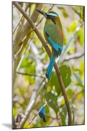Guardabarranco (Turquoise-Browed Motmot)-Rob Francis-Mounted Photographic Print