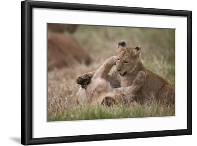 Lion (Panthera Leo) Cubs Playing, Ngorongoro Crater, Tanzania, East Africa, Africa-James Hager-Framed Photographic Print
