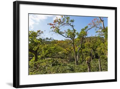Typical Flowering Shade Tree Arabica Coffee Plantation in Highlands En Route to Jinotega-Rob Francis-Framed Photographic Print