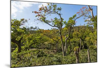 Typical Flowering Shade Tree Arabica Coffee Plantation in Highlands En Route to Jinotega-Rob Francis-Mounted Photographic Print